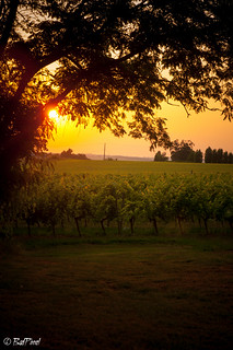Sunset on Wineyard