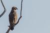 Brown Snake Eagle by Pascal Bernardin