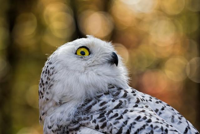 Snowy Owl_DSC2401