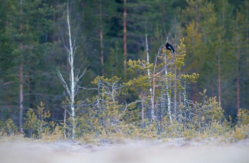 black bird nature birds canon finland eos is grouse 300mm 7d l usm f28 ef petäjävesi tetrao tetrix teeri canonef300mmf28lisusm canoneos7d copyright©lm
