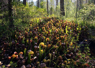 Darlingtonia californica, California Pitcher Plant or Cobra Lily in habitat, Six Rivers National Forest, Del Norte County, California | by Brad Wilson, DVM