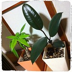 涼しくなったら大きい鉢に植え替えてやろう。100均のパキラと黒ゴムの木(バーガンディ)。こんなに大きくなりました。 #観葉植物