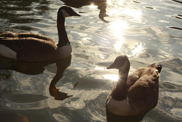 Abington Park Fishing Lake