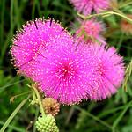 Thu, 05/01/2014 - 10:58am - Mimosa-quadrivalvis