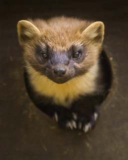 Pine Marten | by Karen bullock photography