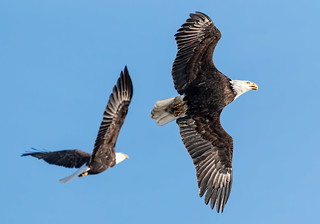 Bald Eagle pair L&D 14   by T2i shooter