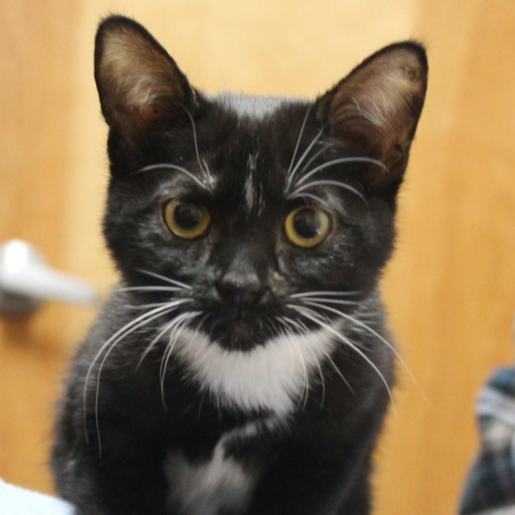 Black And White Tuxedo Cute Cat Kitten Mariposa Veterinary Wellness Center In Lenexa Ks Flickr