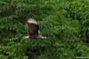 Juvenile Northern Crested Caracara / Juvenil de Caricare Encrestado (Caracara cheriway) by Erick Houli
