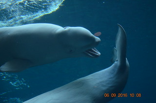 Beluga Whale Nipping at Another's Tail Fluke