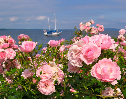 pink roses water sailboat boat maryland havredegrace chesapeakebay