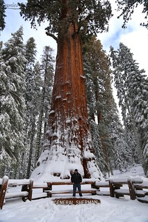 The Biggest Tree in the World | by Daniel Gillaspia