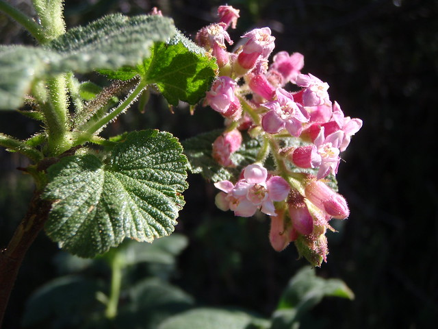 Ribes malvaceum (Chaparral Currant)