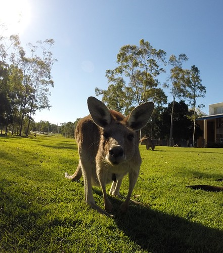 So chill #3, Kangaroo, USC Sippy Downs campus