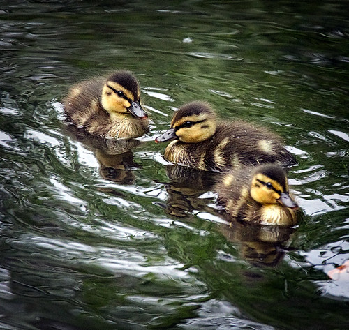 Three little ducklings | by hedera.baltica