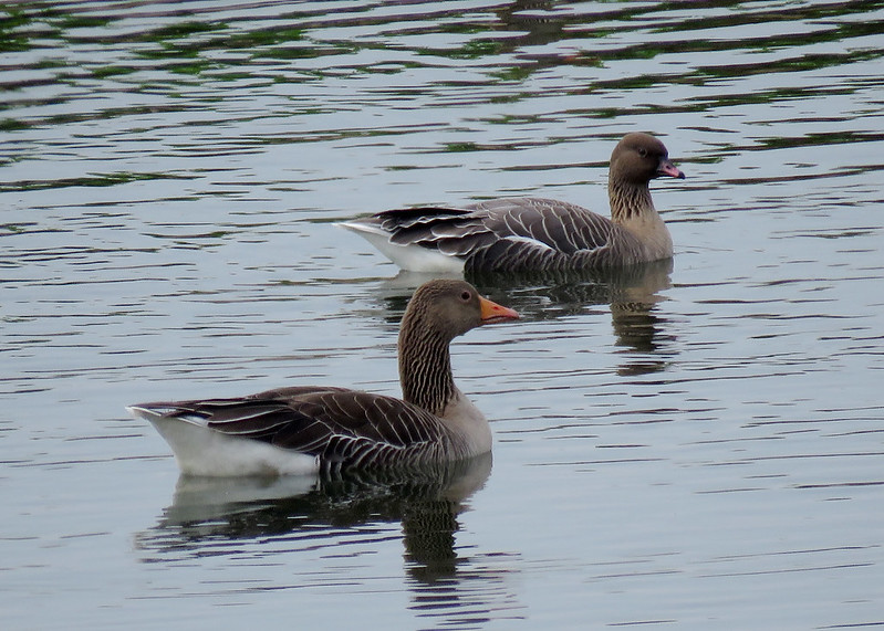 Pink-footed & Greylag Goose - Anser brachyrhynchus & anser