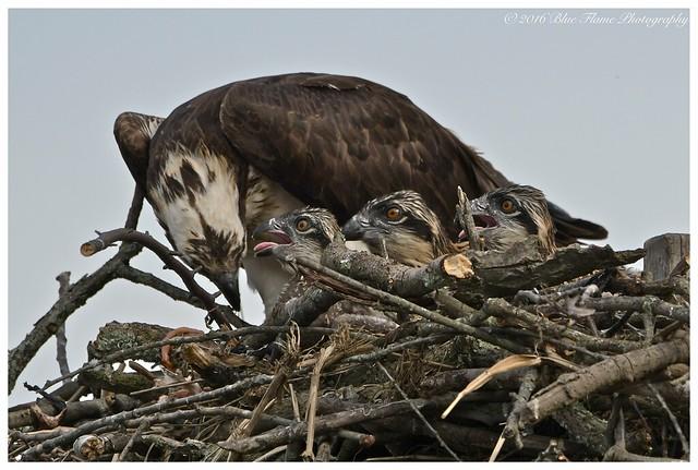 Esperanza Feeding 3 Nestlings ©
