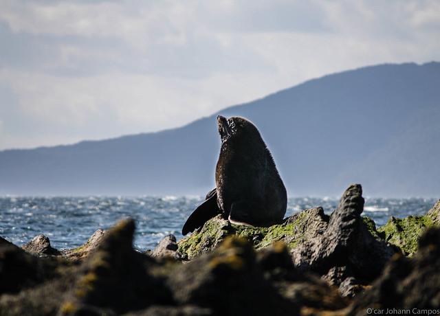 Lobo Marino - South American sea lion