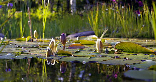Evening Pond - _TNY4603P