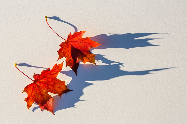 Fallen Sugar Maple Leaves and Shadows in Autumn