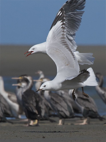 tarapunga - red-billled gull - Larus novaehollandiae | by Steve Attwood