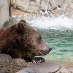 Grizzly Bear, San Diego Zoo