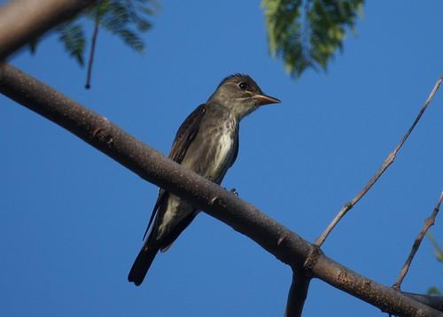 Olive-sided Flycatcher | by Mike's Birds