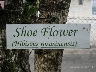 Sri Lanka. Haputale. Dambatenne tea factory. Shoe flower.