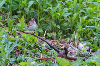 Savannah Sparrow | by chlorophonia