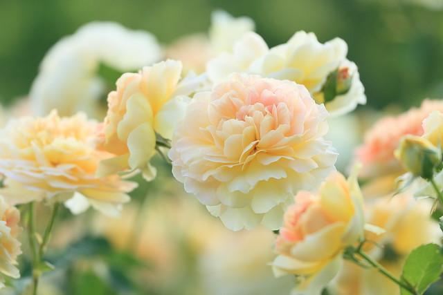 English roses. モリニュー