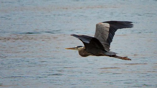 Great Blue Heron 3 | by Second City Warehouse