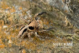 Jumping Spider (Plexippus sp.) - DSC_4887