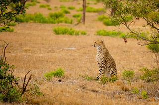20131019-Cheetahs of Sabi Sabi-1 | by gideonariel1