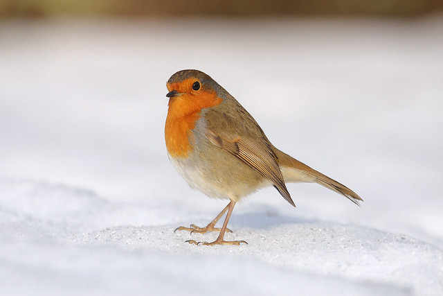 Robin in the snow 27 December  09 106a