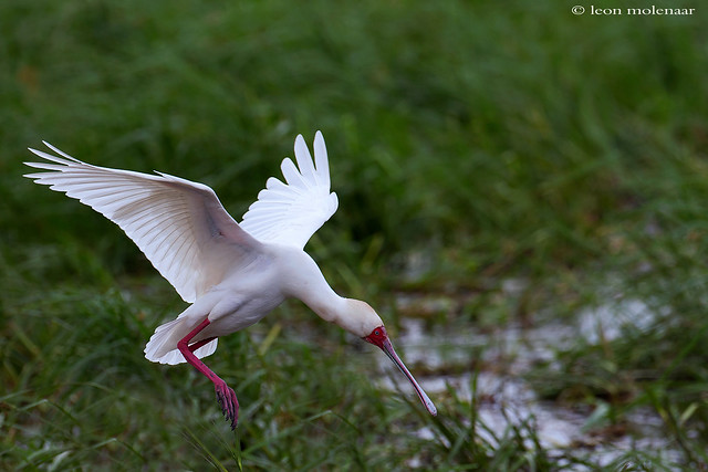 African Spoonbill (1)