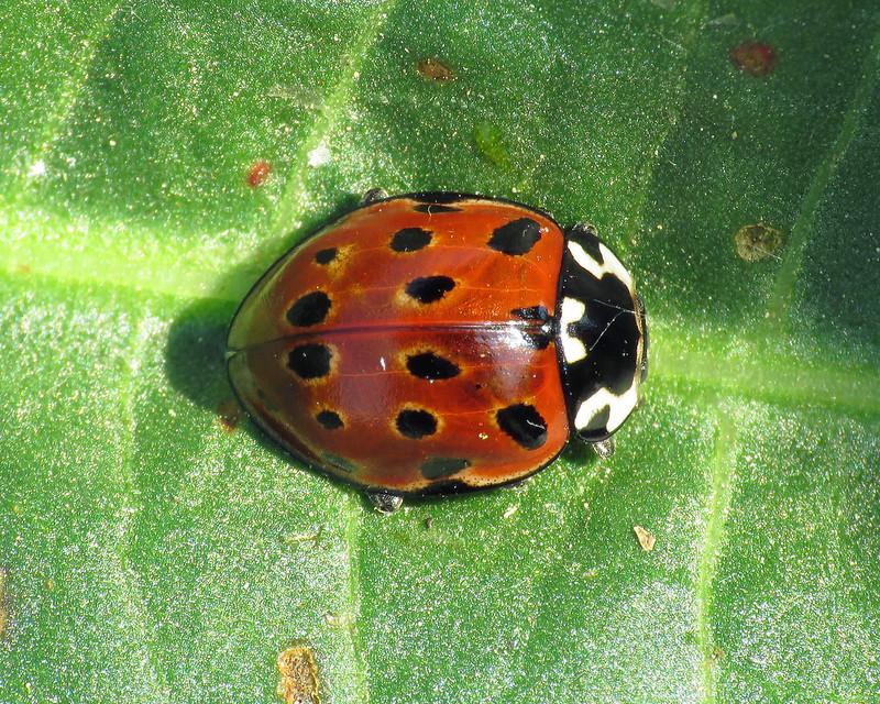 Eyed Ladybird - Anatis ocellata