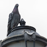 Pigeon at America's Cup