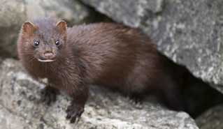American Mink, Centre Island, Toronto, ON | by tsaiproject