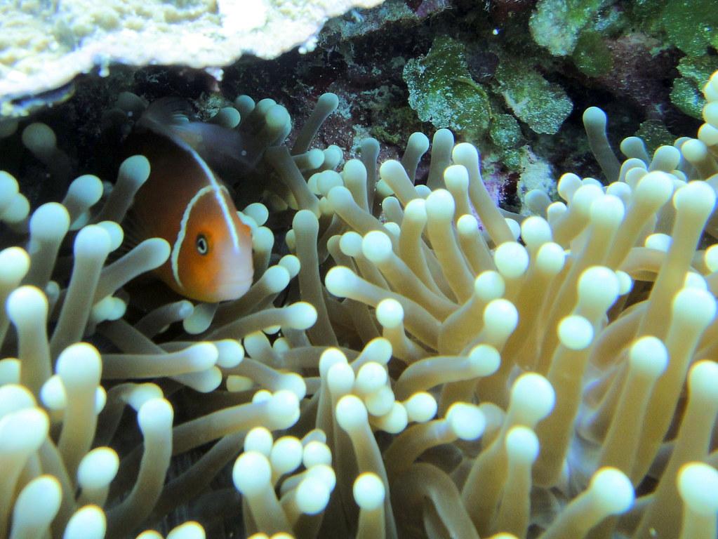 Anemonefish on Big Drop Off reef, Palau