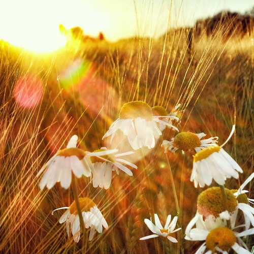 sunset summer valencia field daisies sunrise suomi finland square finnland squareformat daisy scandinavia finlandia フィンランド finlande finlândia finnország finlanda finlàndia финляндия finnlando iphoneography instagramapp uploaded:by=instagram