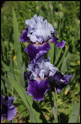 Iris amoena azur marine - Lilou [Identification en cours] 21188448861_c0a4e20650