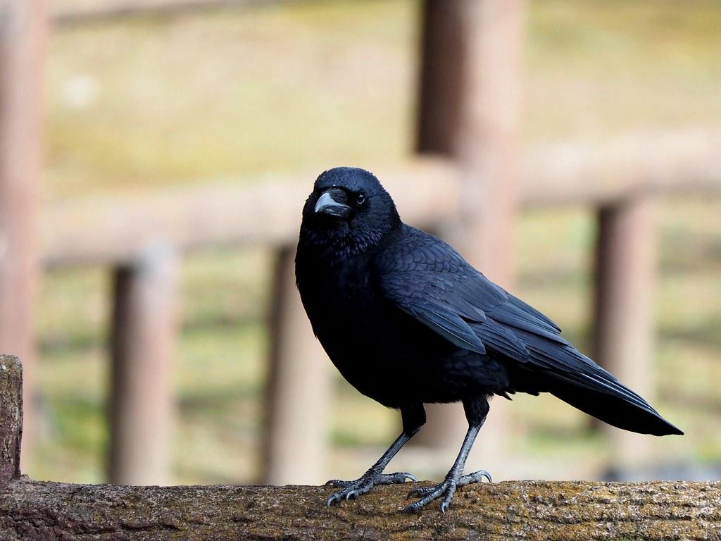 Crow (カラス)