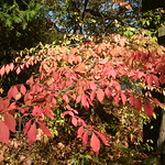 Leaves of red