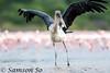 禿鸛 Marabou Stork (Leptoptilos crumeniferus), Kenya by Samson So Photography