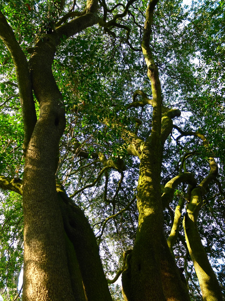 Phillyrea Latifolia Oleaceae Alavert à Larges Feuilles