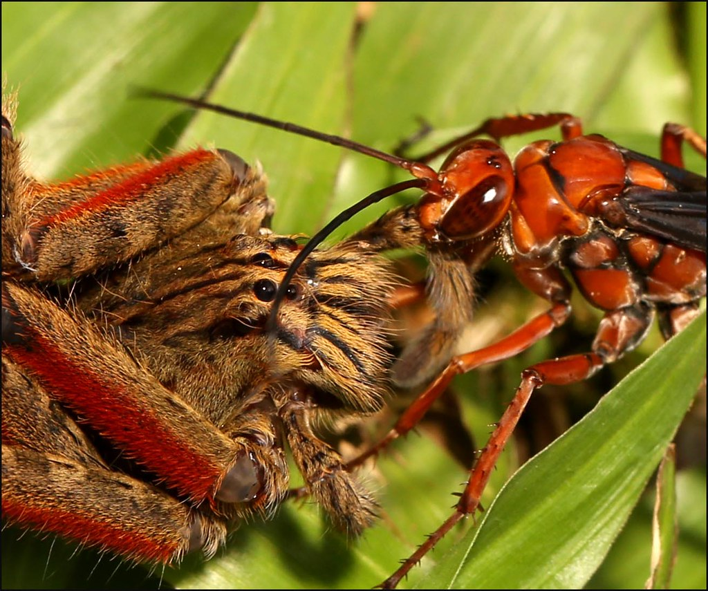 Tarantula Hawk Wasp And Tarantula Id Been Photographing A