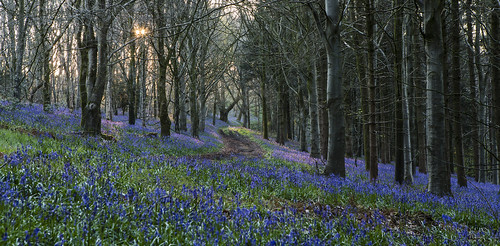 bluebells dorset uk delcombe delcombewoods woods trees sunrise path canon eos 5d 5d3 70200l28ii 70200l canon5dmark3 canon5d canon5d3 englishcountryside countryside