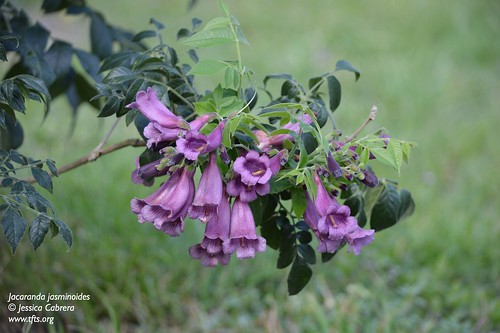 Jacaranda jasminoides | by tftsmiami
