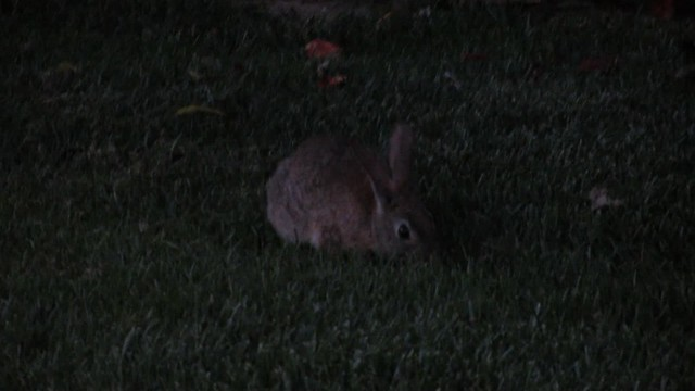 MVI_0331 130622 Bacara bunny chewing grass 34s