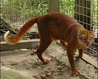 gambar-kucing-merah   Eman Mayadi   Flickr