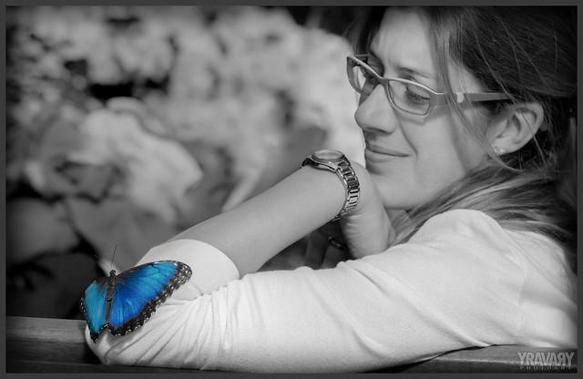 Morpho Bleu / Helenor Morpho / morpho helenor